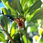 Fruto escondido