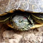 La tortuga Mari Loli