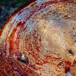 Sangre del árbol