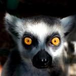 Mirada de un Lémur