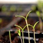 Cultivando tomates