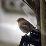 Nuestro pequeño amigo, Robin II