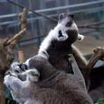 Lemures dormilones
